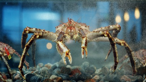 Kingcrab in tank